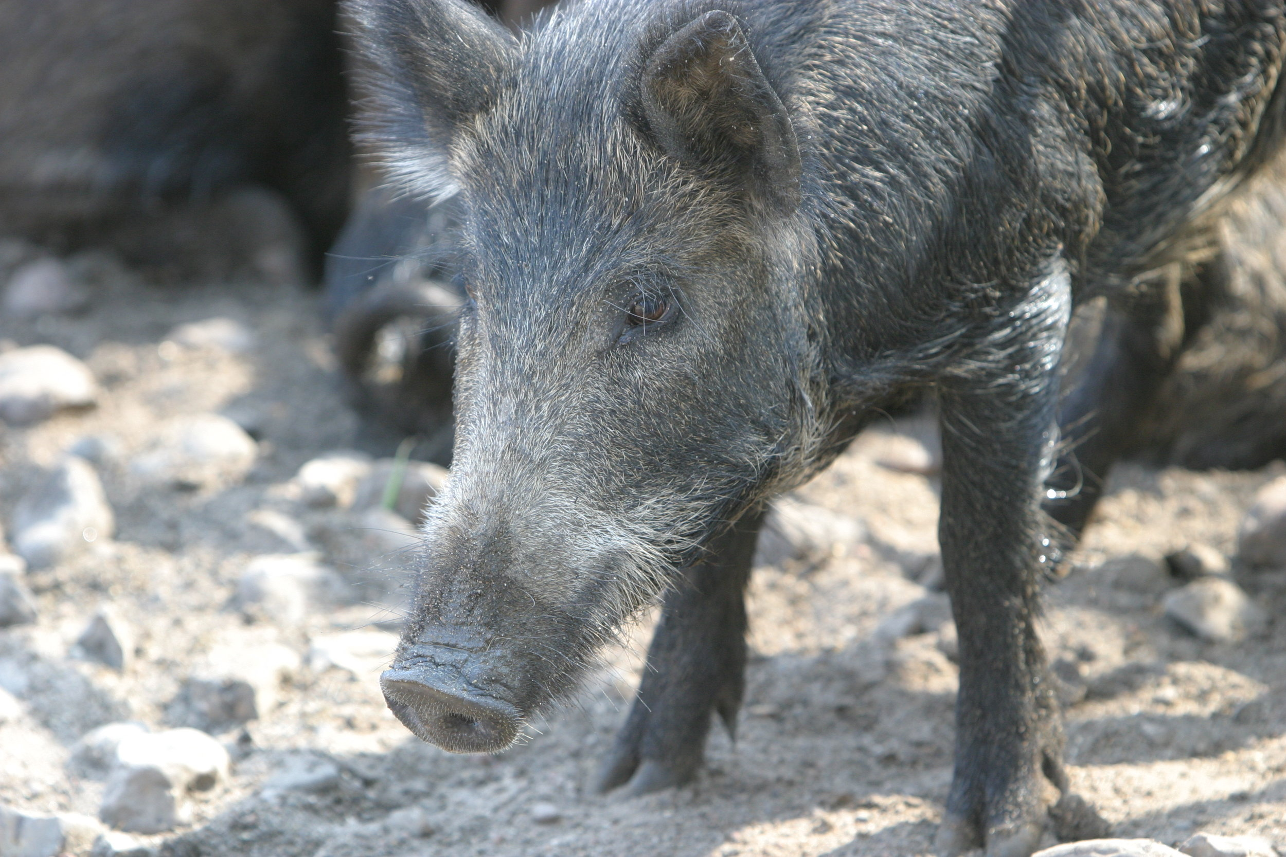 Have feral hogs negatively impacted you or someone  that you know?  Tell your story and let your voice be heard.