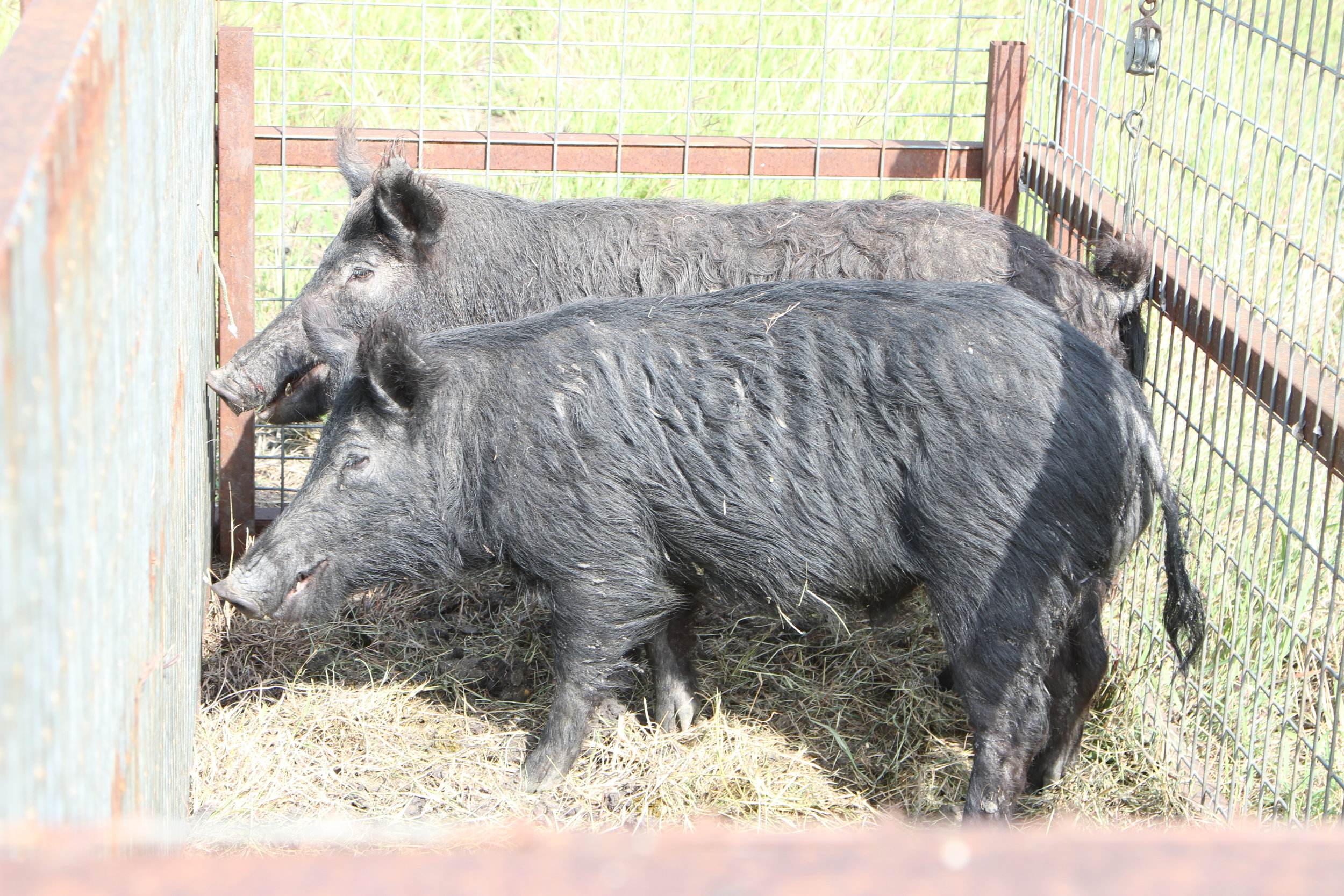 """The  DallAS MORNING NEWS      """"What does it take to kill a 416-pound hog? A Texan and an AR-15"""""""
