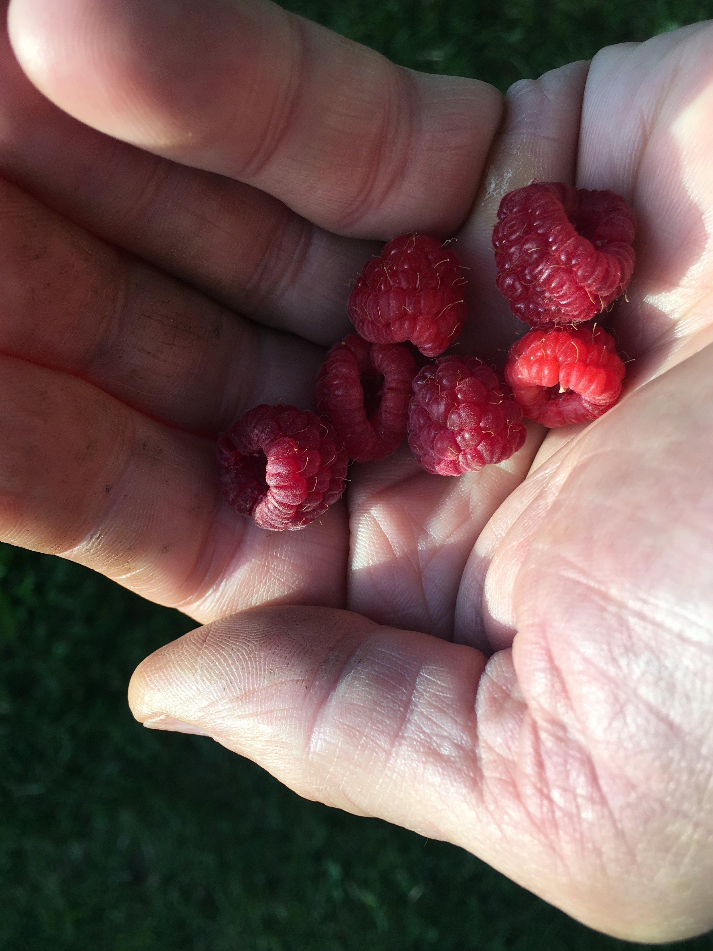 Berries in hand 1.JPG