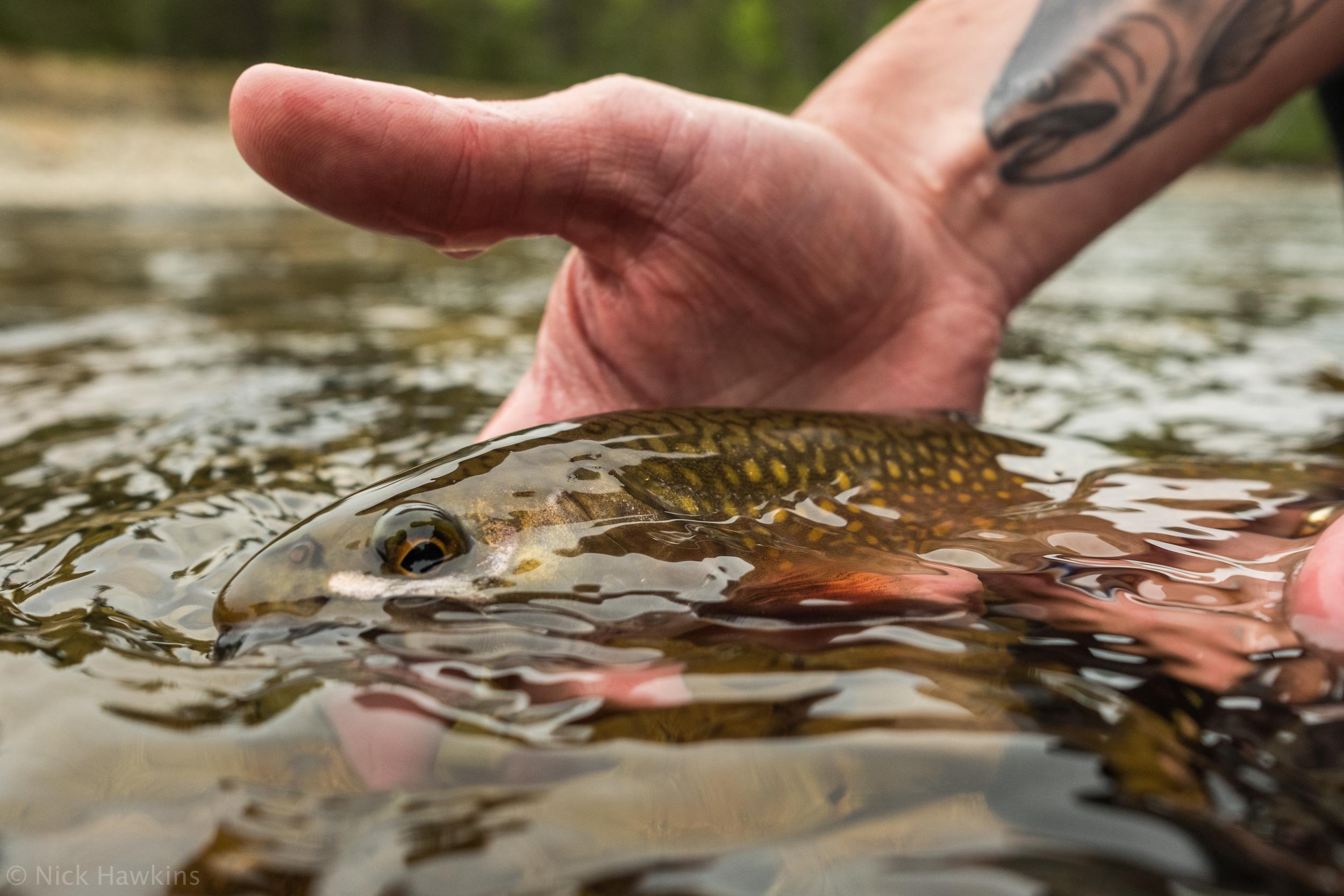 saving-salmon-Nick-Hawkins-2092.jpg