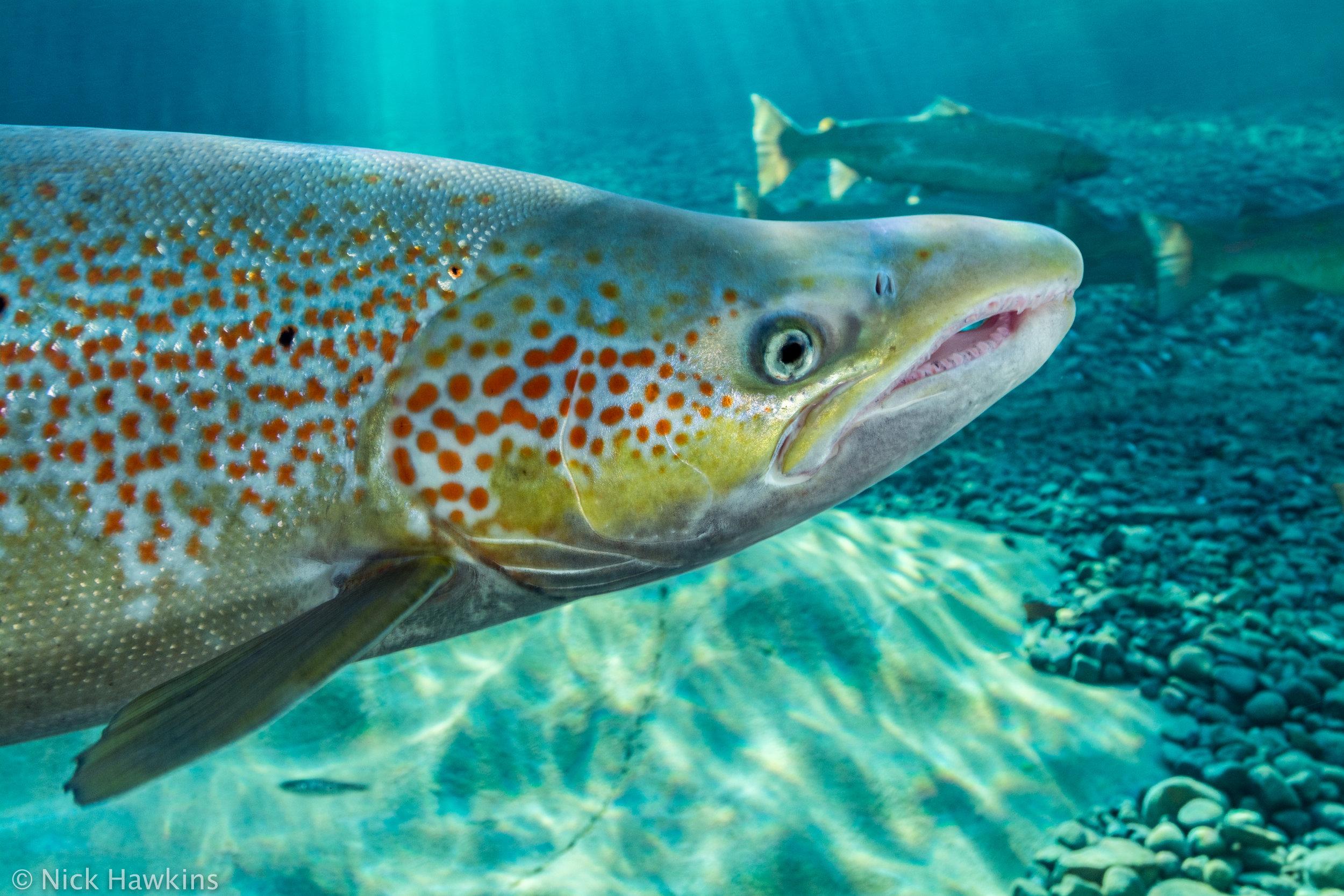 Gaspé-Saving-Salmon-Nick-Hawkins-4216.jpg