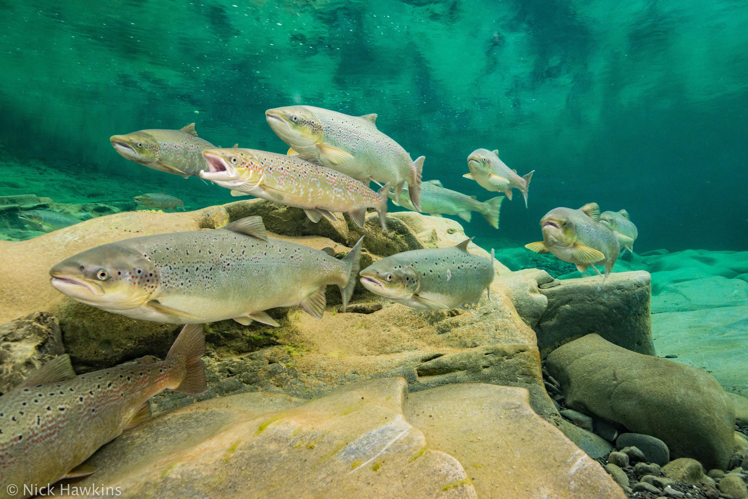 Gaspé-Saving-Salmon-Nick-Hawkins-2562.jpg