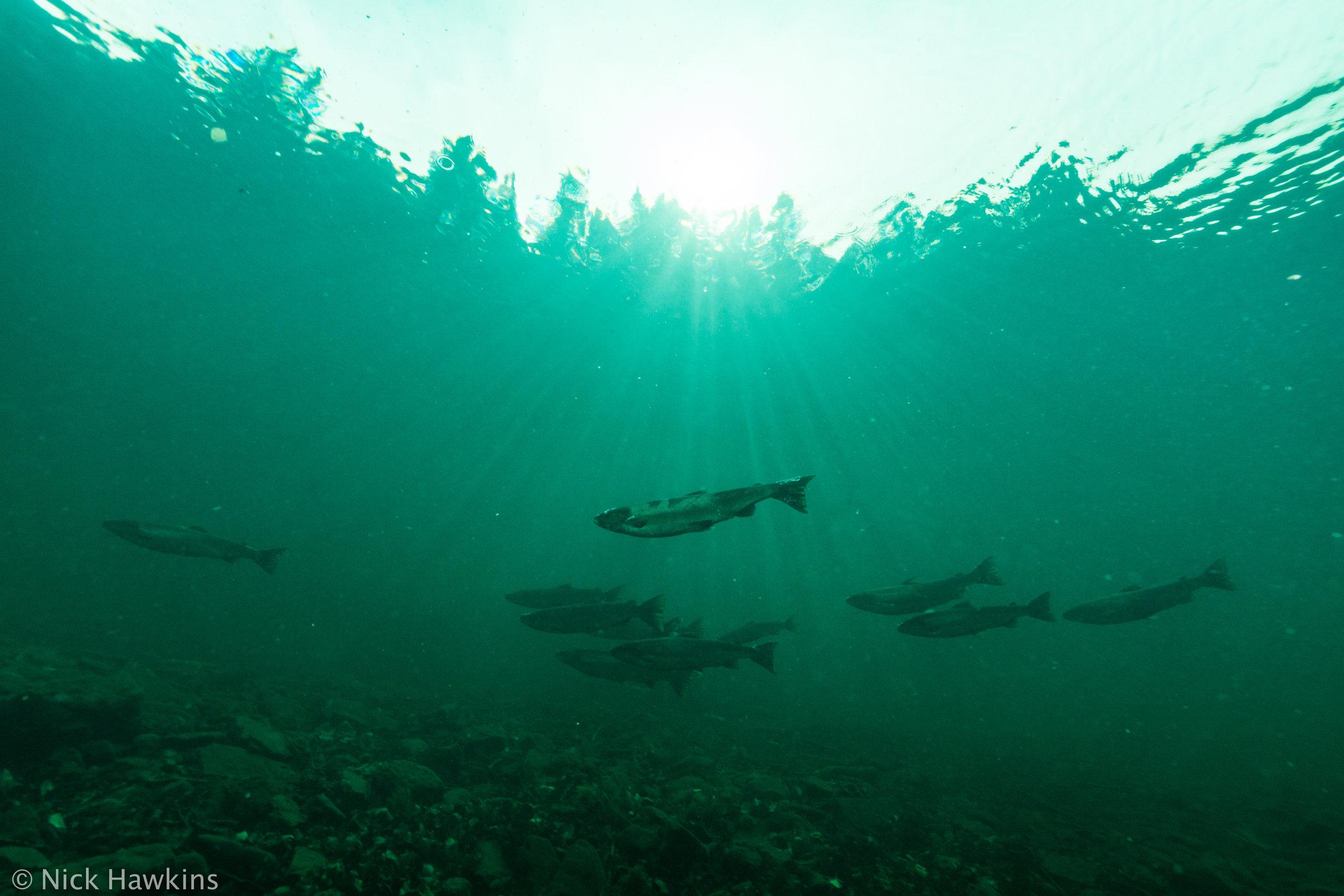 Gaspé-Saving-Salmon-Nick-Hawkins-2770.jpg