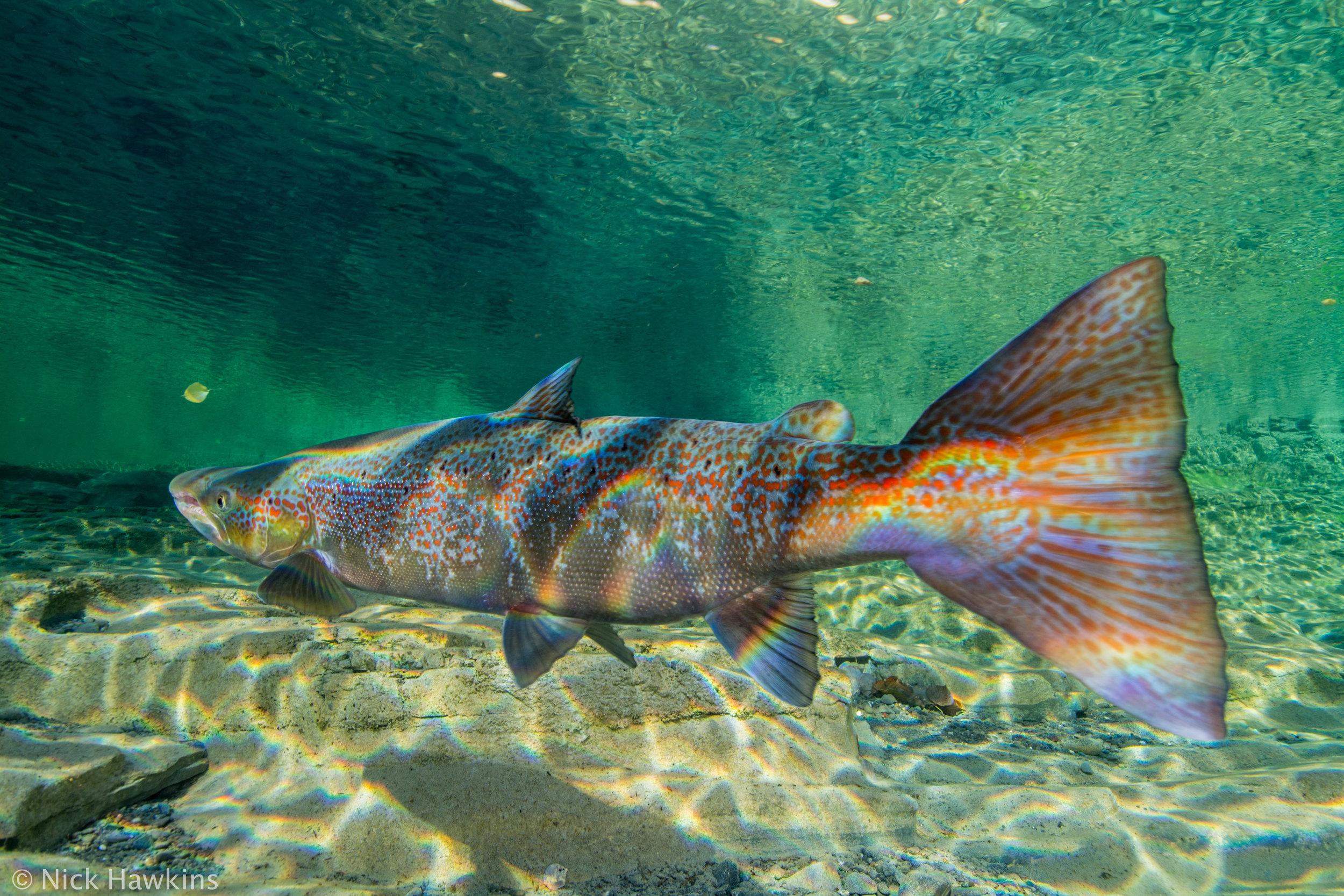 Gaspé-Saving-Salmon-Nick-Hawkins-3991.jpg