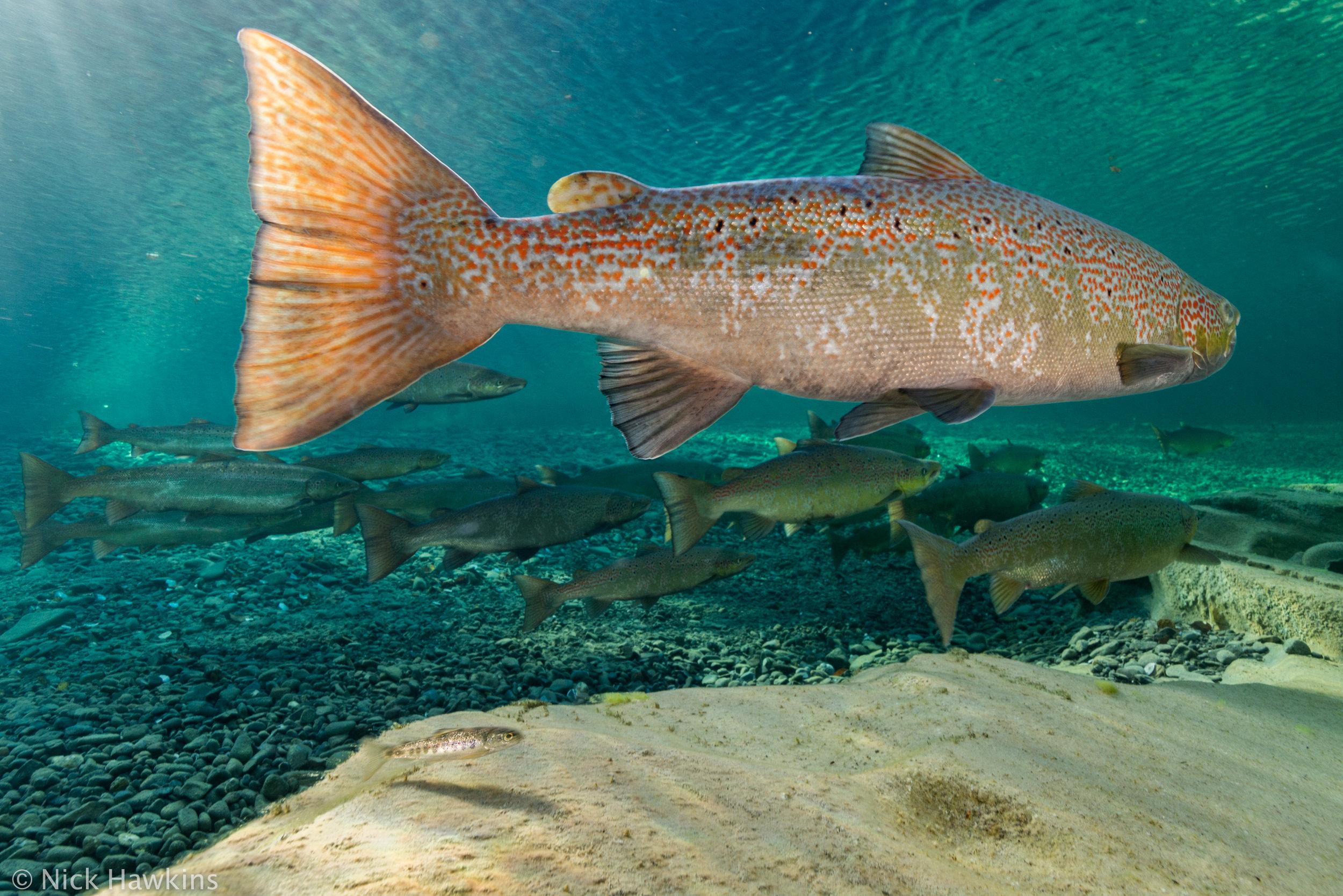 Gaspé-Saving-Salmon-Nick-Hawkins-4019.jpg