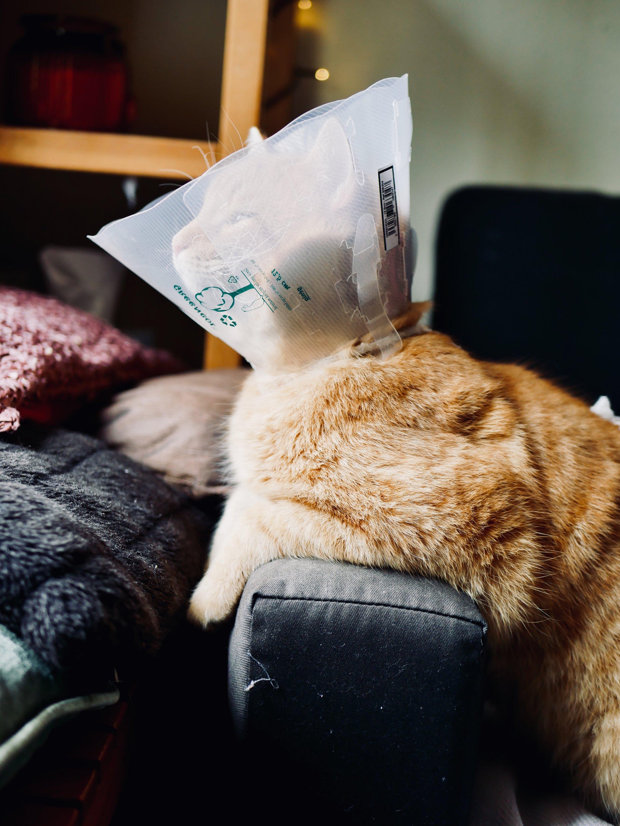 albert cat cone