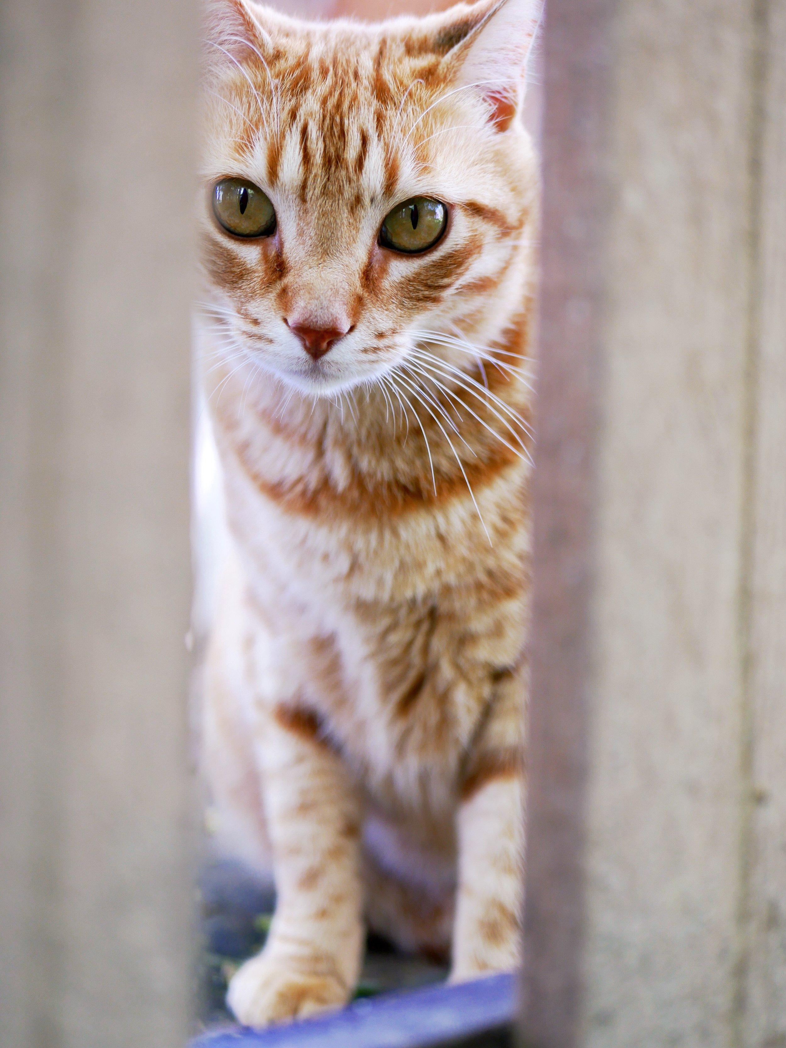 ginger cat curious