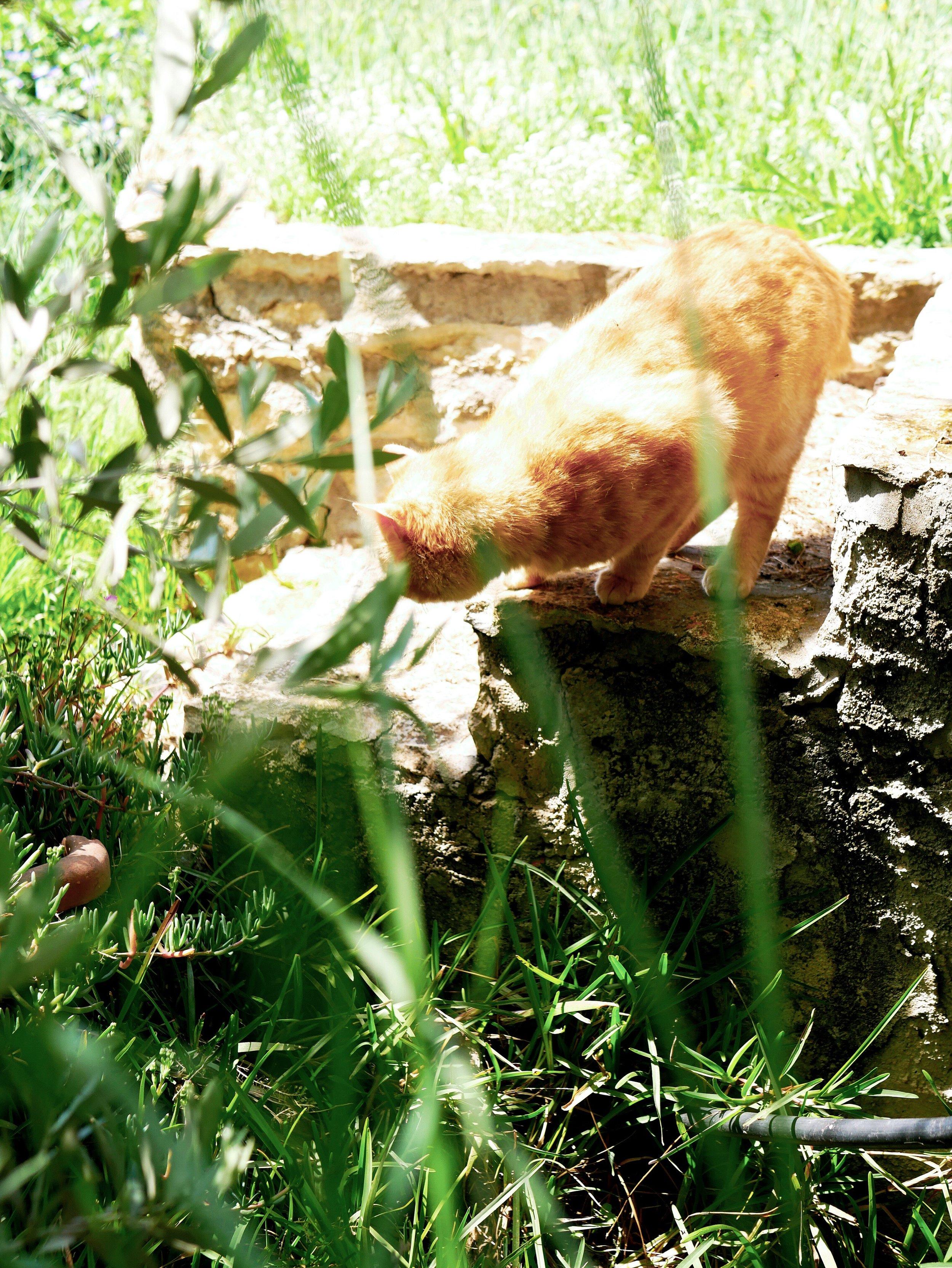 fluffy ginger cat exploring