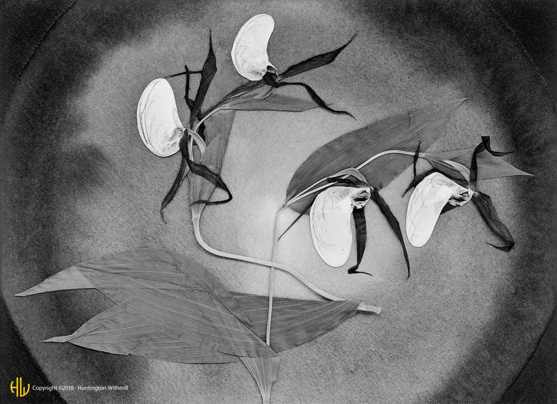 Cypripedium Montanum, 1987