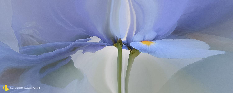 Iris #20, 2003