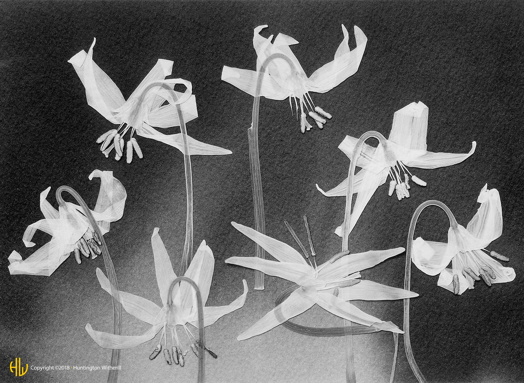 Fawn Lilies #3, 1990