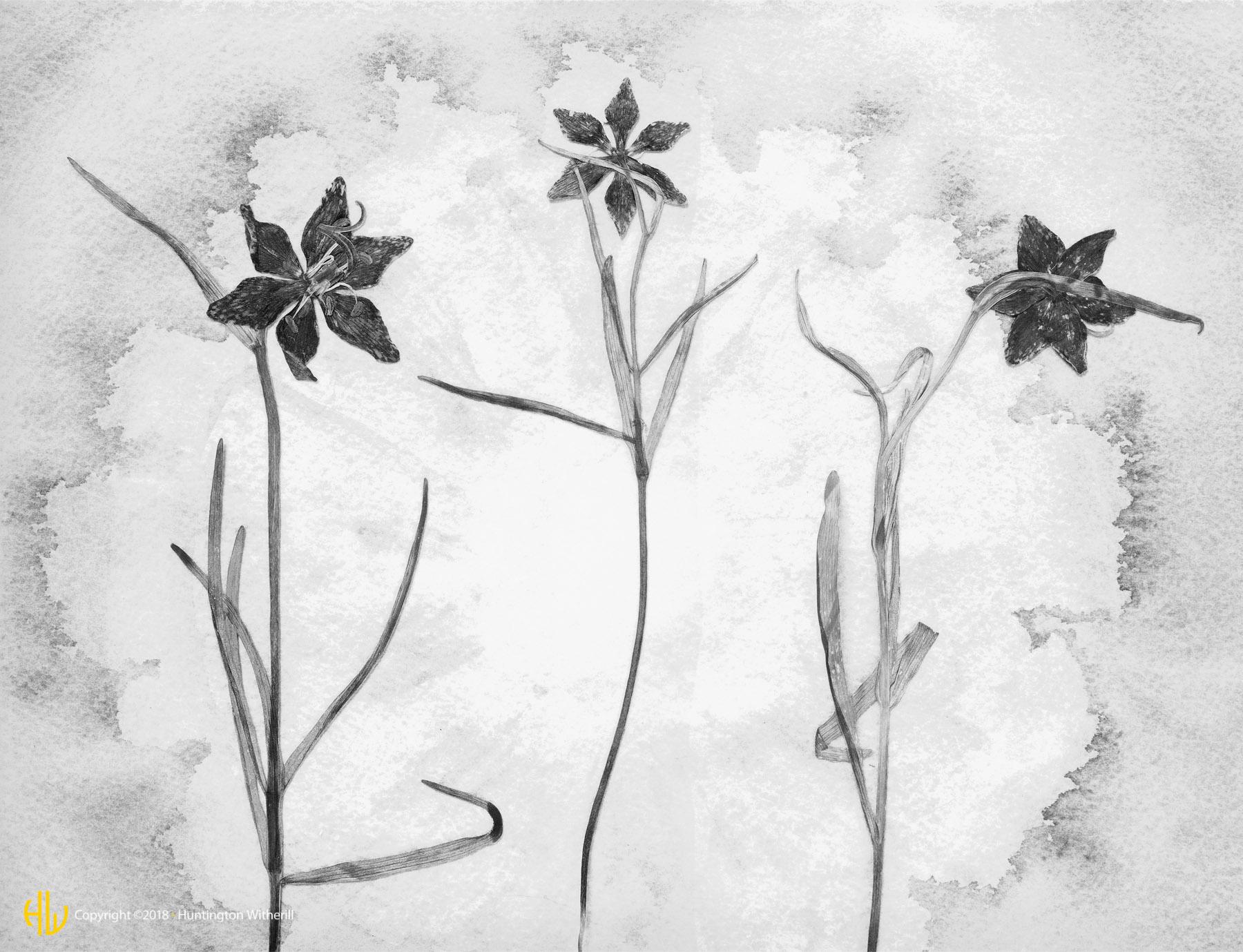 Leopard Lilies, 1990