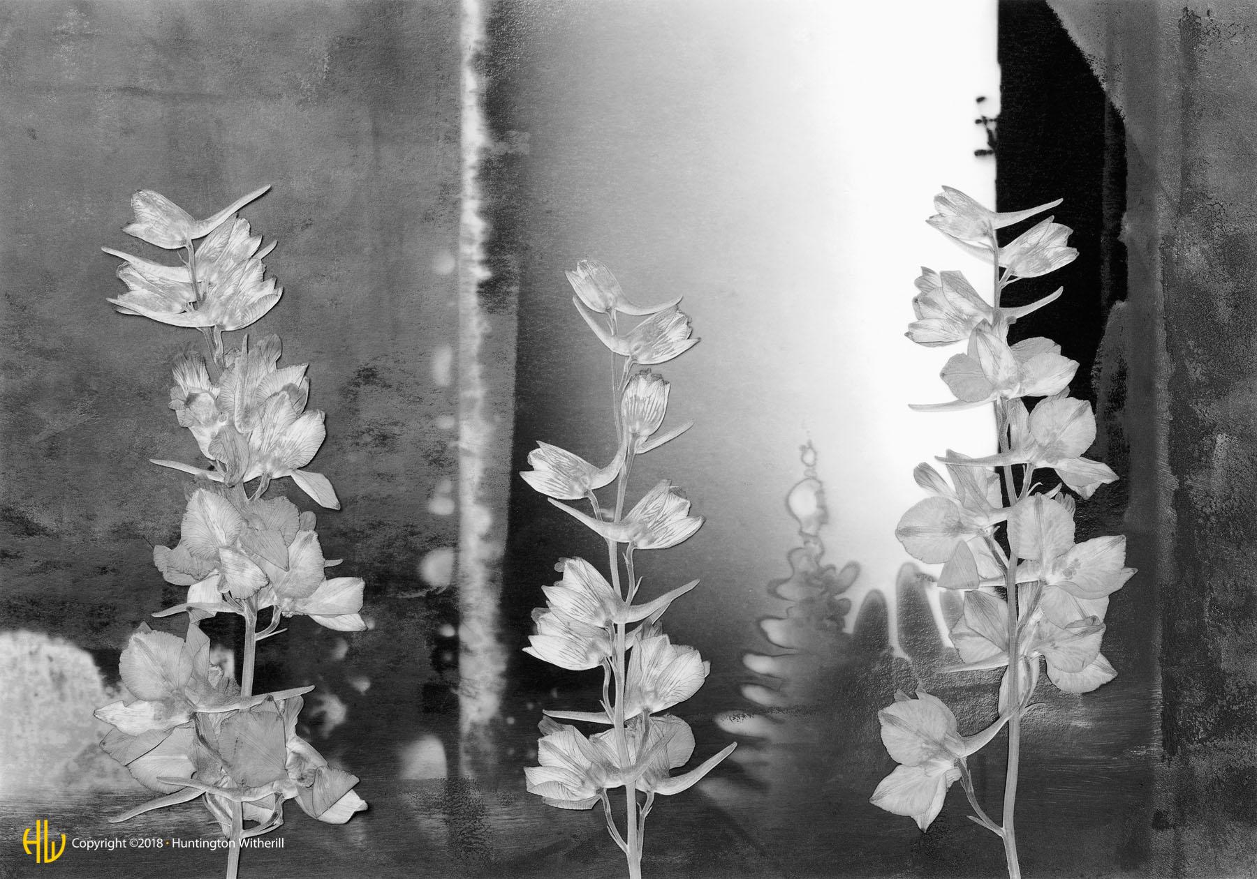 Stalk Larkspur, 1992