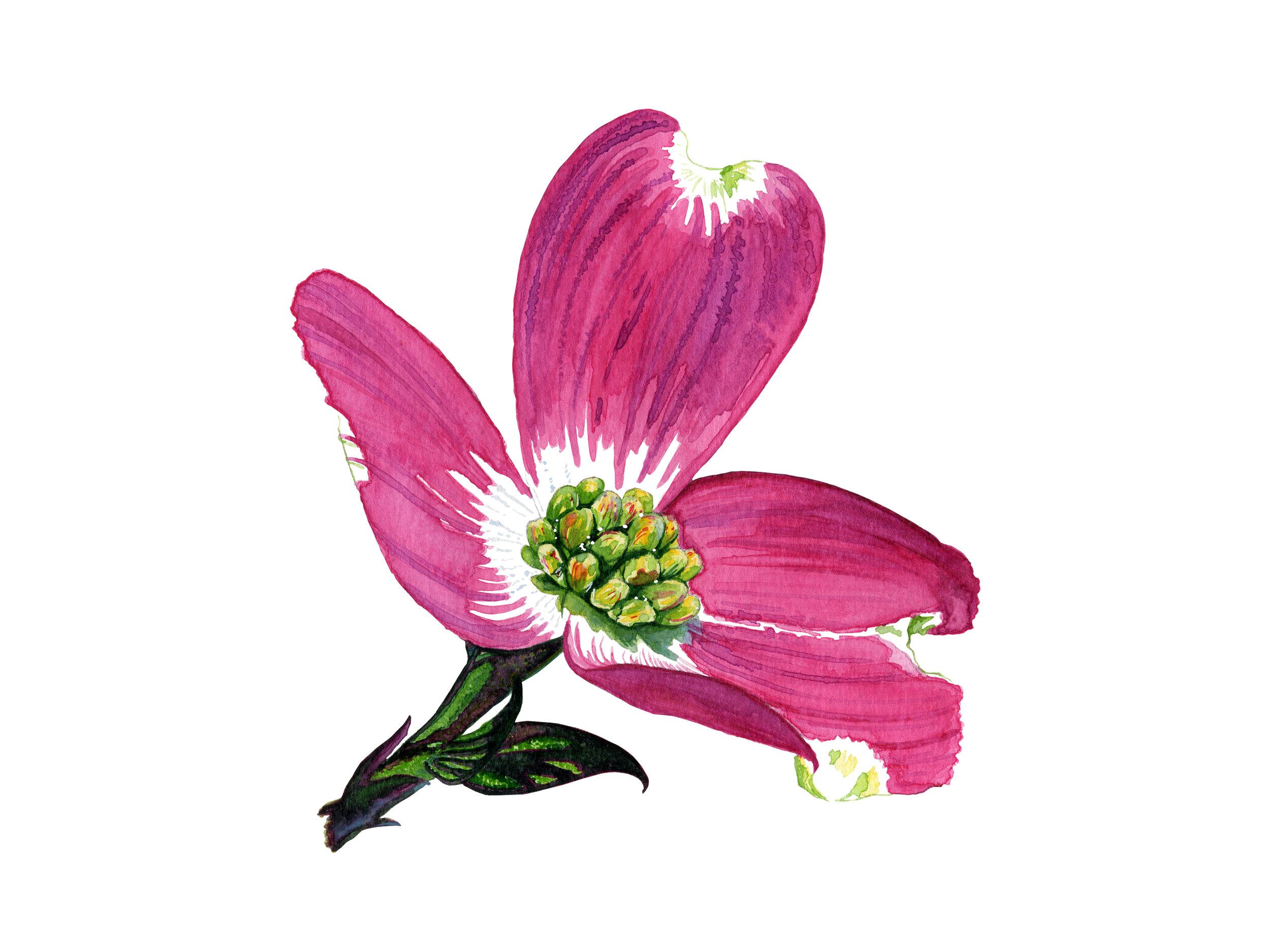 Single Bloom - Dogwood Series