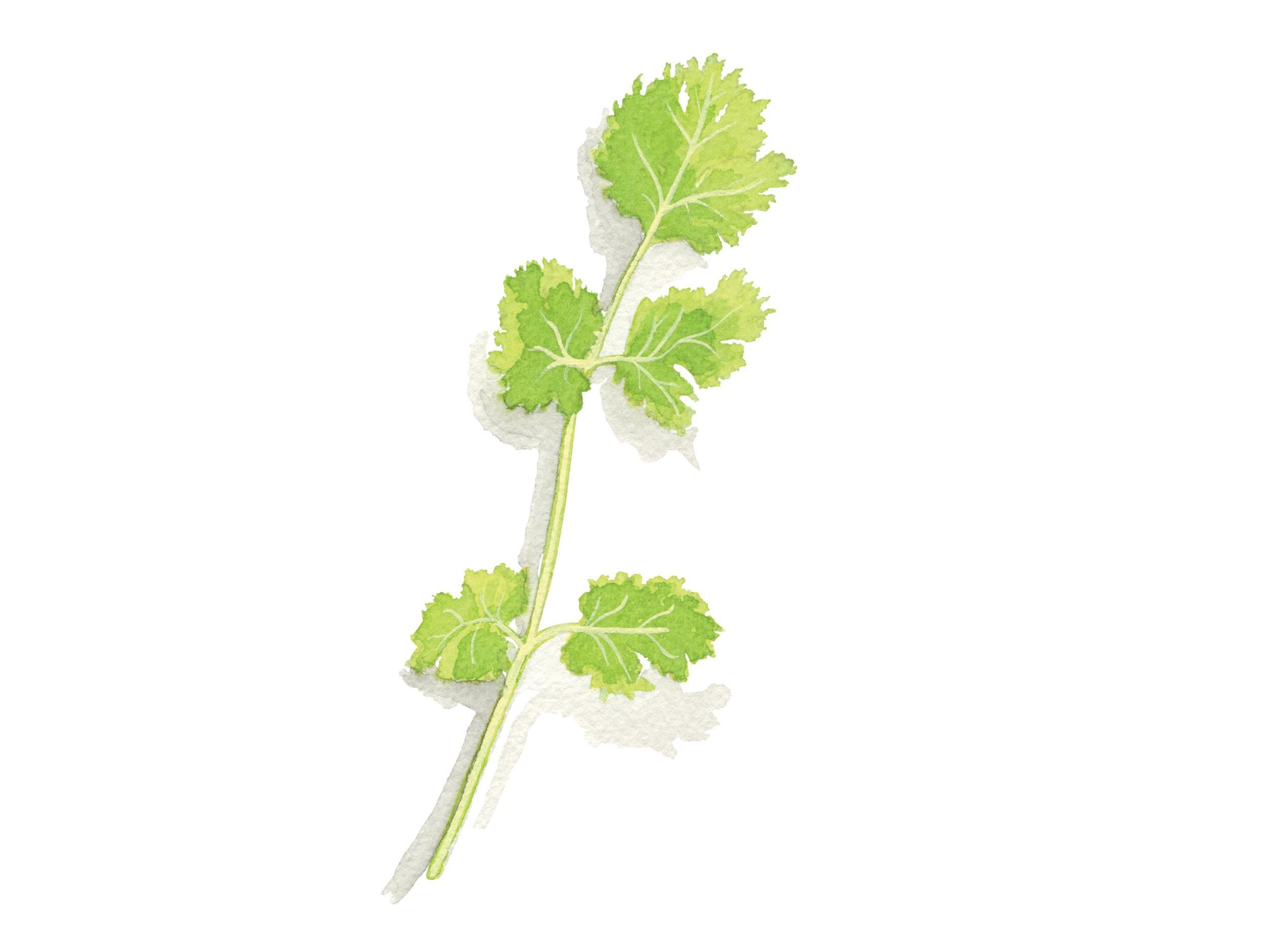 Cilantro   Culinary Herbs
