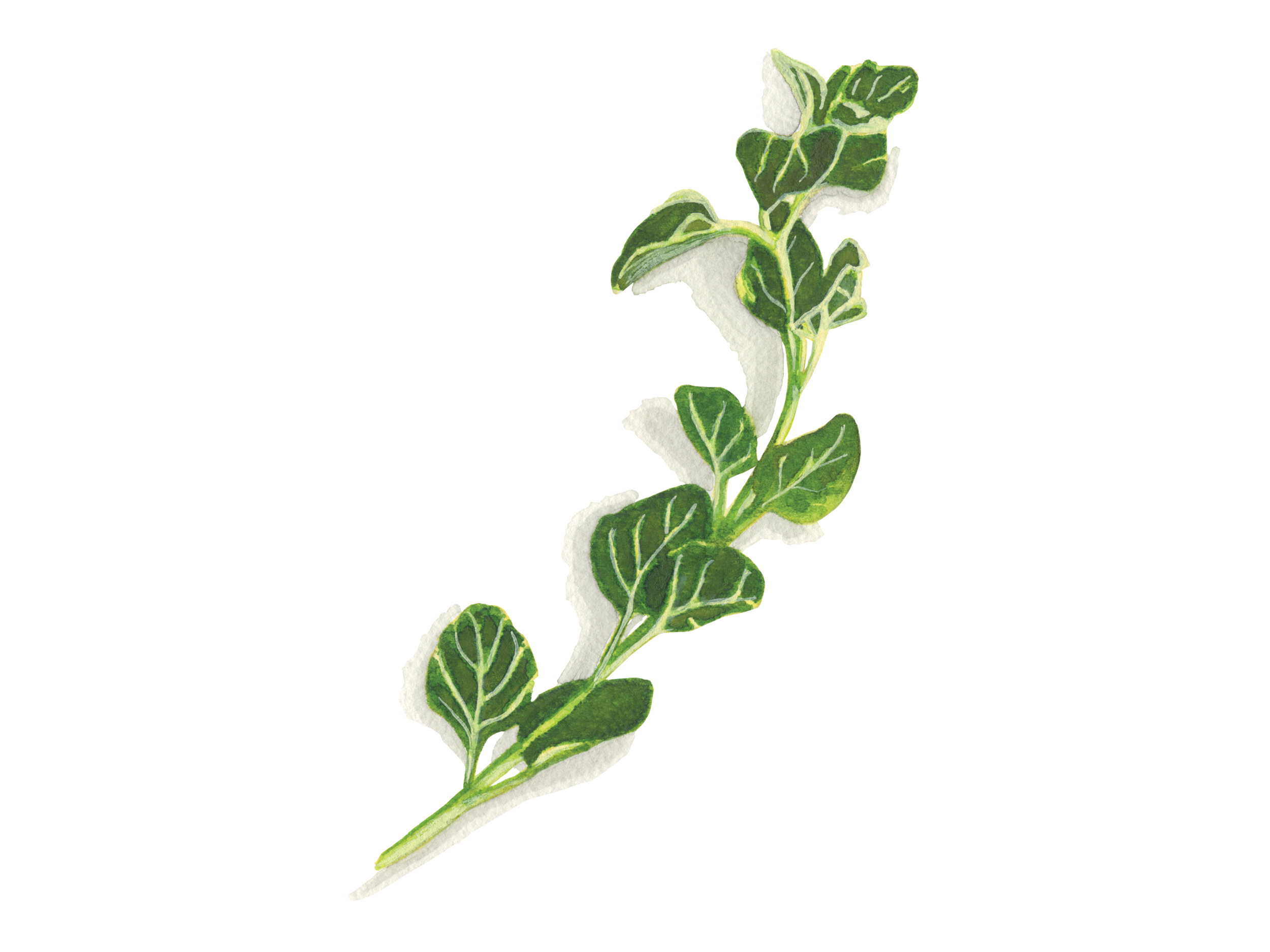 Oregano | Culinary Herbs