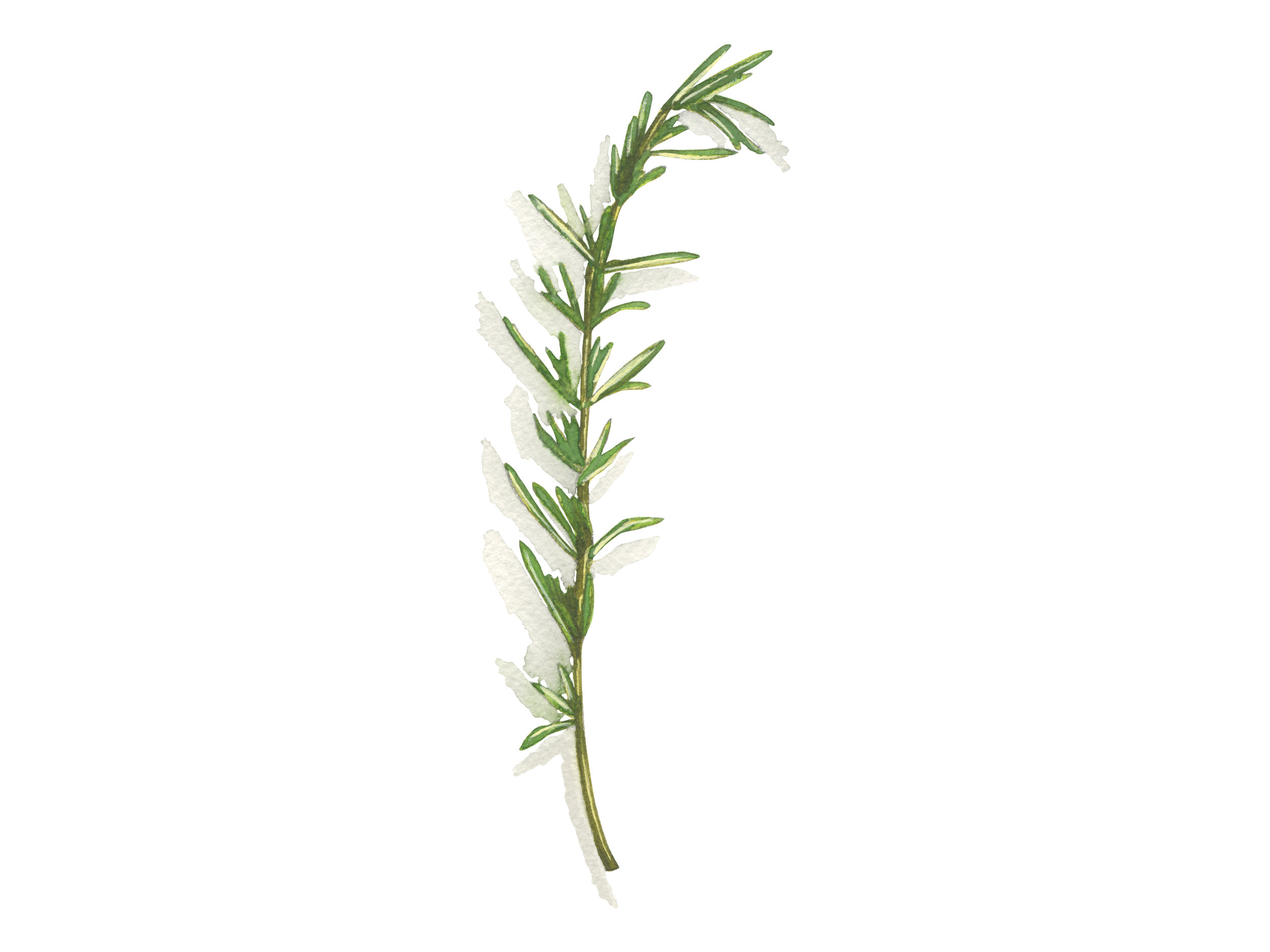 Rosemary | Culinary Herbs