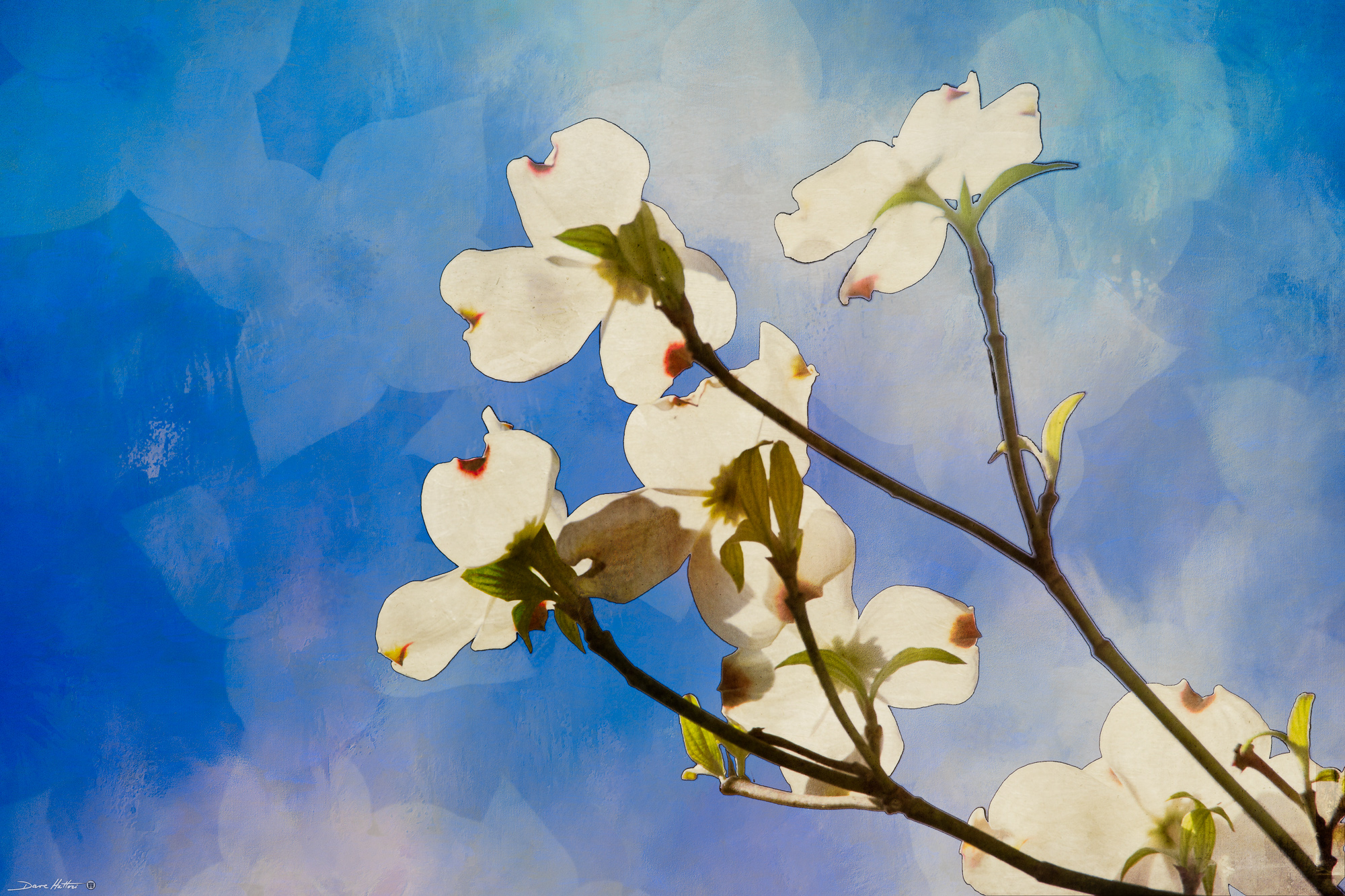"""Dogwood Blooms"""