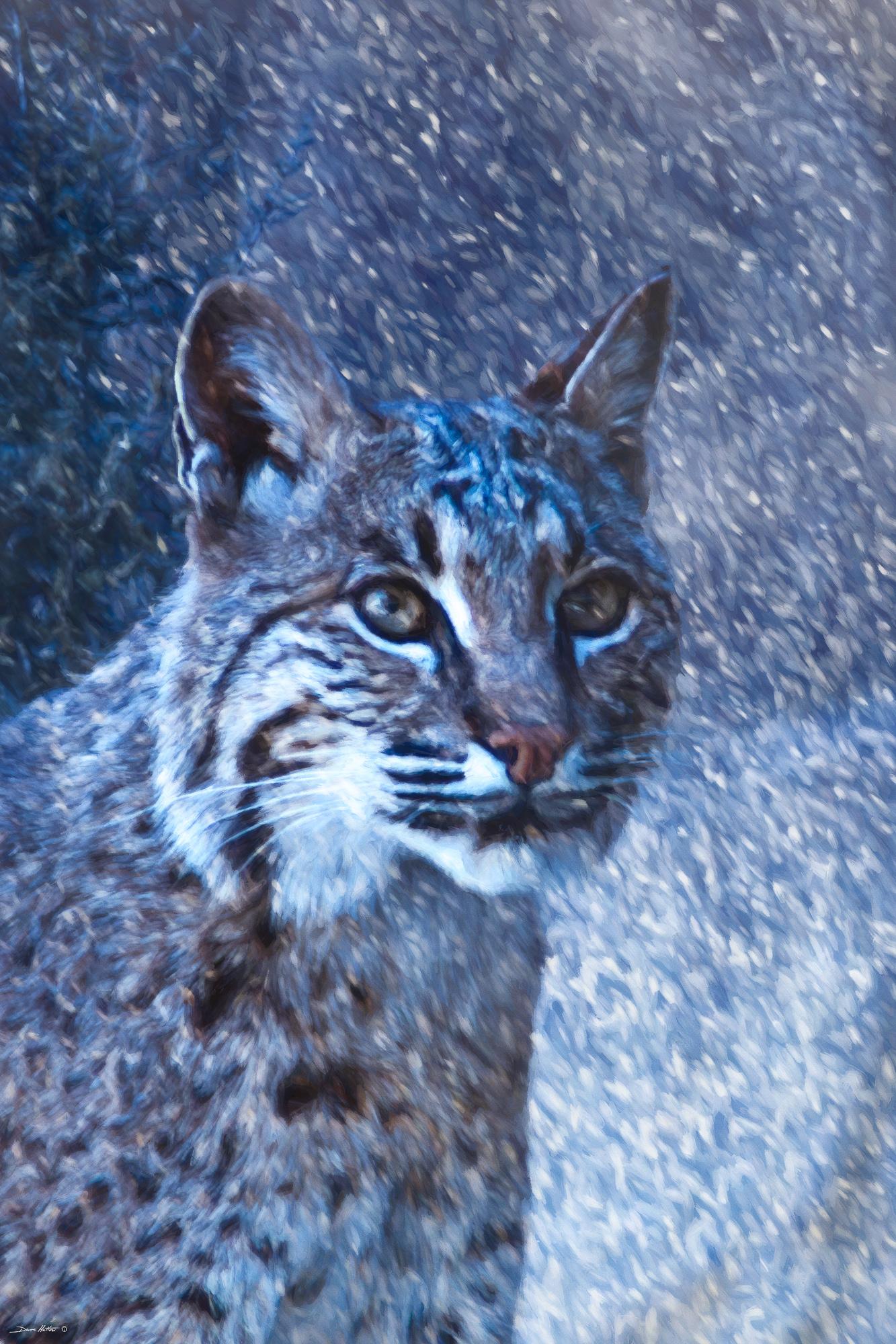 """Snowy Bobcat"""