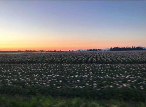 Ragnar potato field sunset.png