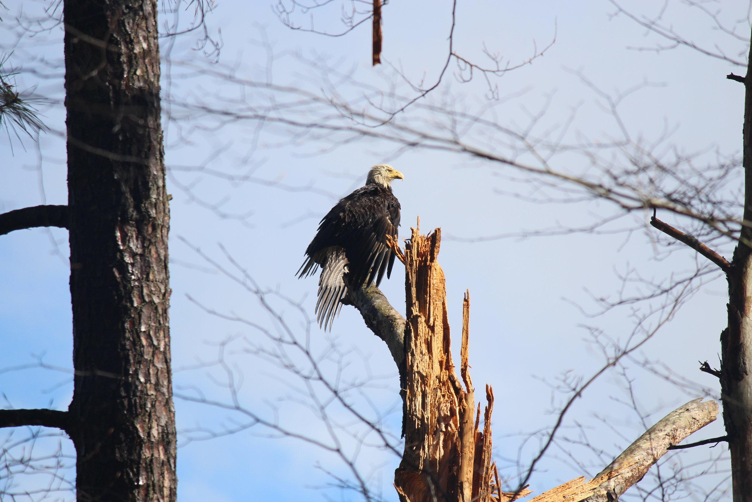 Bald Eagle (Haliaeetus leucocephalus) near Bush Mill Stream by Kyle Langford