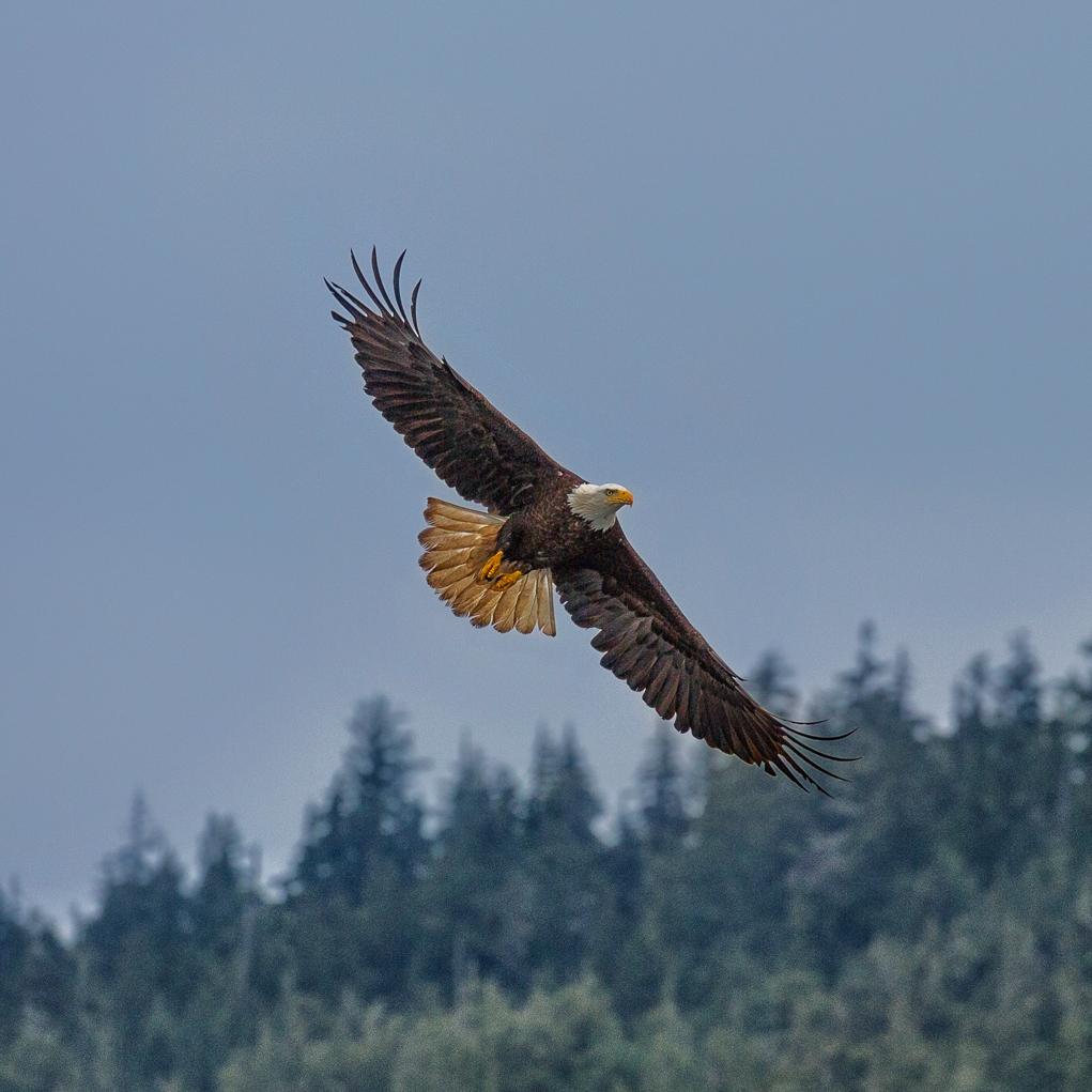 eagle in flight.jpg