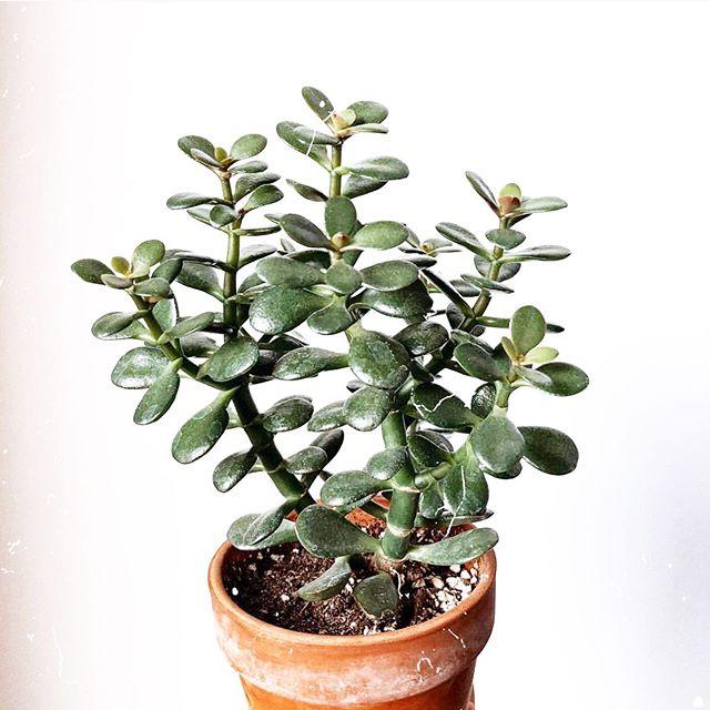 Jade sp.