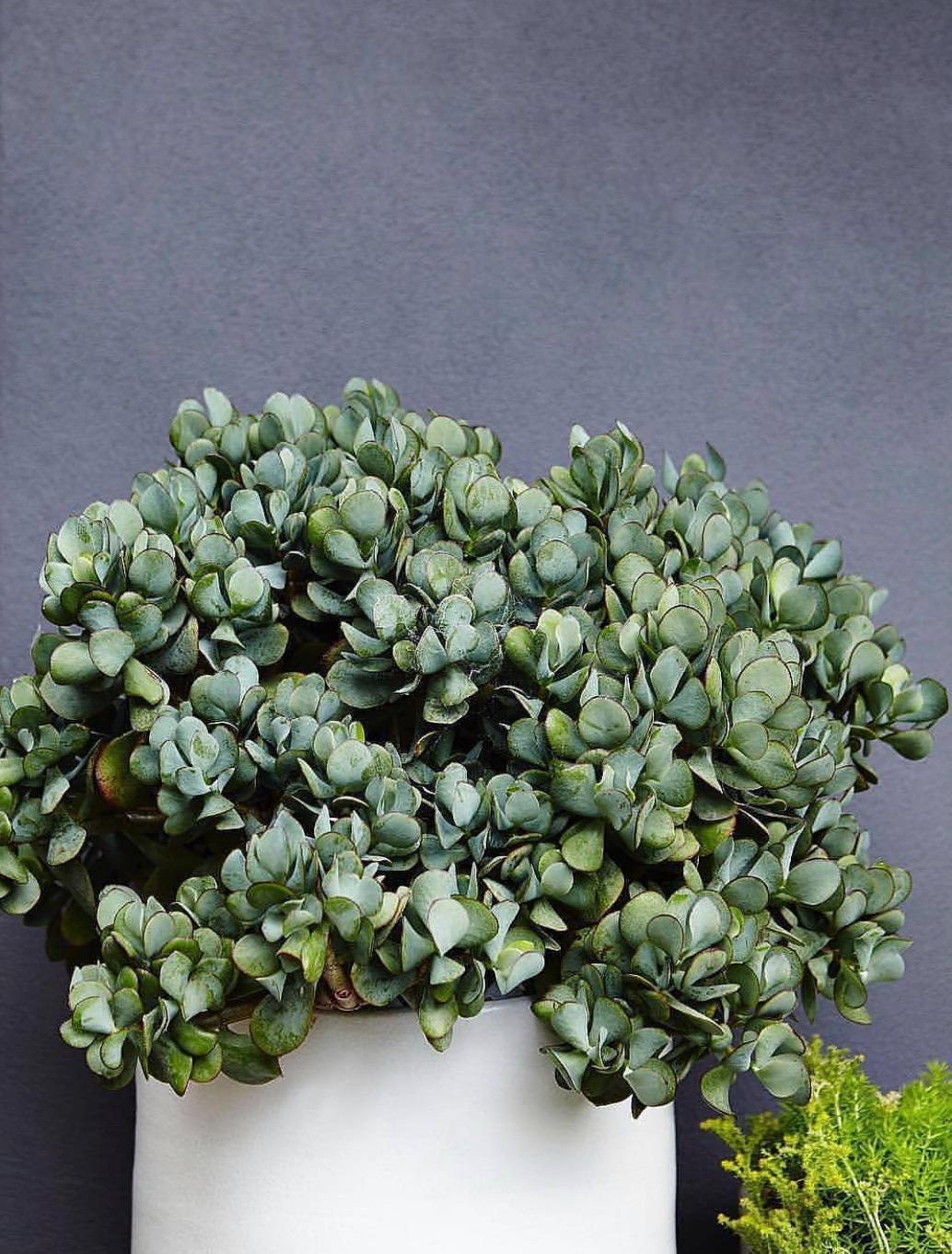 Crassula ovata or Blue Jade -