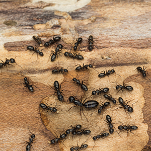 ANTS - Fresno county has a wide variety of ants. Depend on our state licensed technicians to id & eradicate them for you.
