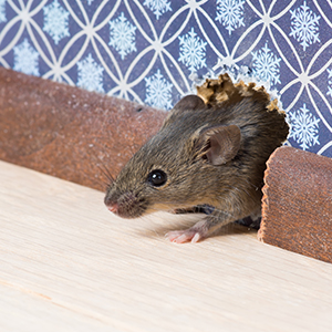 MICE & RATS - Rats and mice spread disease in their droppings, and often cause electrical fires. We provide the most current and effective rodent eradication solutions available.