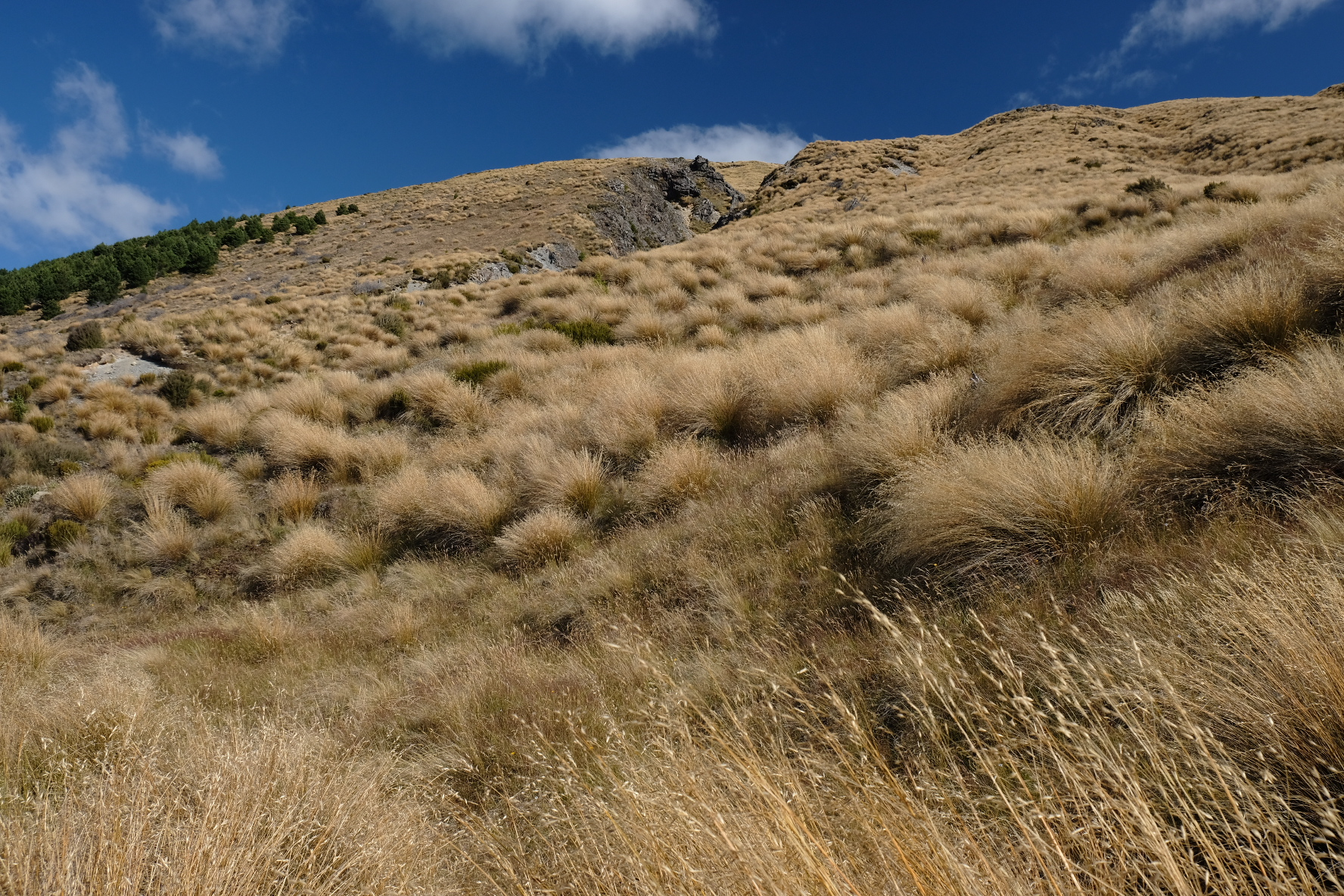 Tussock - a near constant companion in the next section