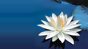 chinese-white-lotus