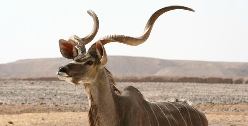 A Kudu