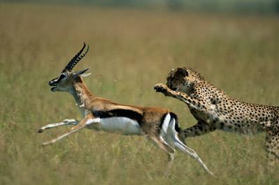 cheetah-and-gazelle1.jpg