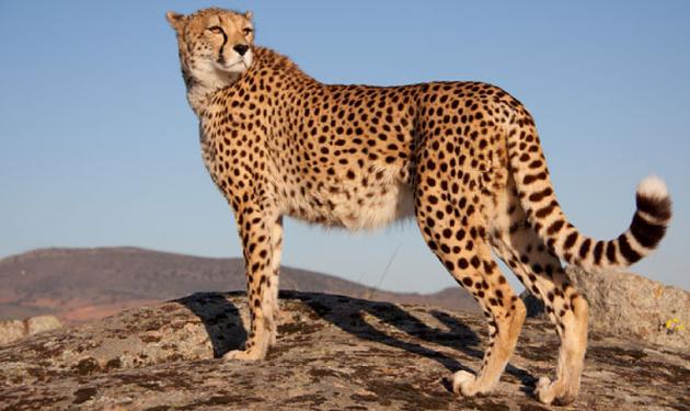 cheetah2.png