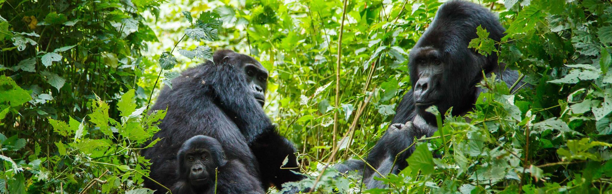 africa-rwanada-mountain-gorillas-in-trees.jpg