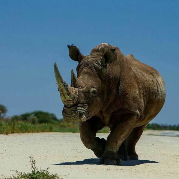This is a rhino with a story. His horn is covered in green scrapes - paint residue from a custom-made container that carried him out of a poaching hot spot in South Africa to relative safety in Botswana. Accompanied by vast security detail, he has traveled by plane, truck and helicopter to reach this new home.