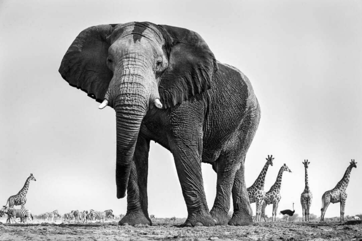 What's great about this photo is that the more you look, the more you see!  The massive elephant captures your attention in the foreground, then you notice the giraffe, a herd of zebra and even a random ostrich on the right! We love it!