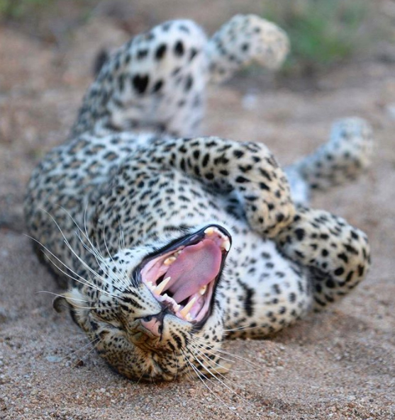 """Something funny? Well, no actually. This leopard isn't laughing, it's yawning!  The photographer said """"It was a great chance, to see the leopard in this situation to stretch out""""."""