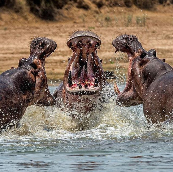 """""""One of my most special wildlife moments! Photographed in South Luangwa river sitting on the river bank surrounded by Nile Crocs. Got these in perfect symmetry.""""  We agree, this is a special photo and Kanwar should be proud of the results!"""