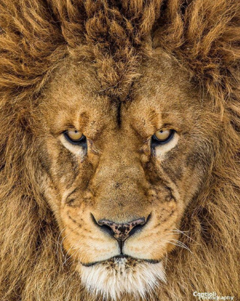 He's looking mean, we wouldn't mess with this guy!  But he's also an incredibly handsome lion with a great expression and truly luscious mane.