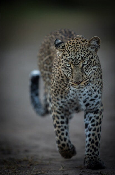 Leopards are probably the most beautiful of all the big cats. Their fur is luscious and visually striking whilst also giving the camouflage needed to sneak up on their prey. They have great grace and a certain something in their eyes too!