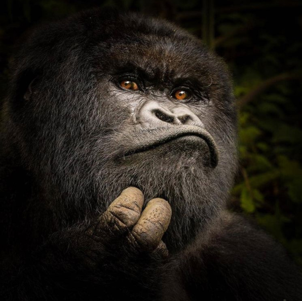 I often find it hard to think of gorillas as animals and not people. They have such human features and expressions. 🦍 What's funny is I realised I was making the exact same face when I found this photo!