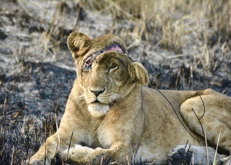 """A shocking photo from  @thewcs in Queen Elizabeth National Park, Uganda:  """"Last month, one of the park's lionesses 'Naturinda' got caught in a snare that almost took her life. Doctors came down in time and removed the snare and treated the wound. We are currently monitoring her closely as she slowly recovers from the deadly snare that almost cut her head off"""". The snares set by poachers for the bushmeat trade do more than eliminate lion prey. They also directly wound or kill lions. We acknowledge the hard work of the Uganda Wildlife Authority to tackle this scourge. The Lion Recovery Fund is working with partners across Africa to fight the illegal bushmeat trade so fewer lions end up like Naturinda."""""""