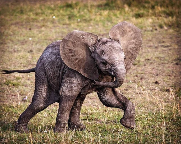 Rambunctious baby elephant. Charging, spinning, twirling his trunk. Typical toddler. ❤️🐘