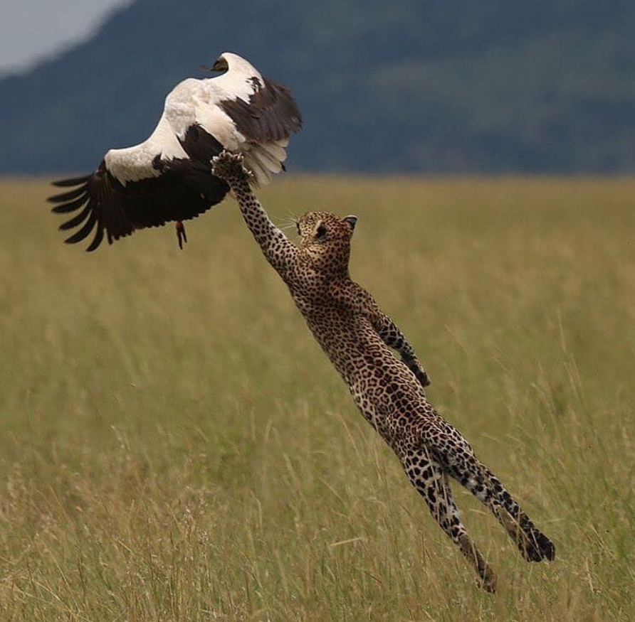 A leopard fully stretched to catch an elusive Stork.  Fun fact: This incredible photo was captured by a chef! Great work Paul Rifkin.