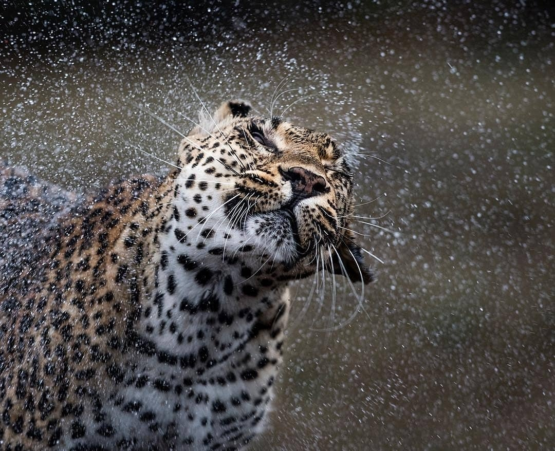 """""""The Tamboti female was an incredibly special leopard, it was a privilege to glance into her life for nearly six years! More importantly I was able to share special moments, especially when this one with a good friend and mentor Sergey Gorshkov."""" Don Heyneke"""