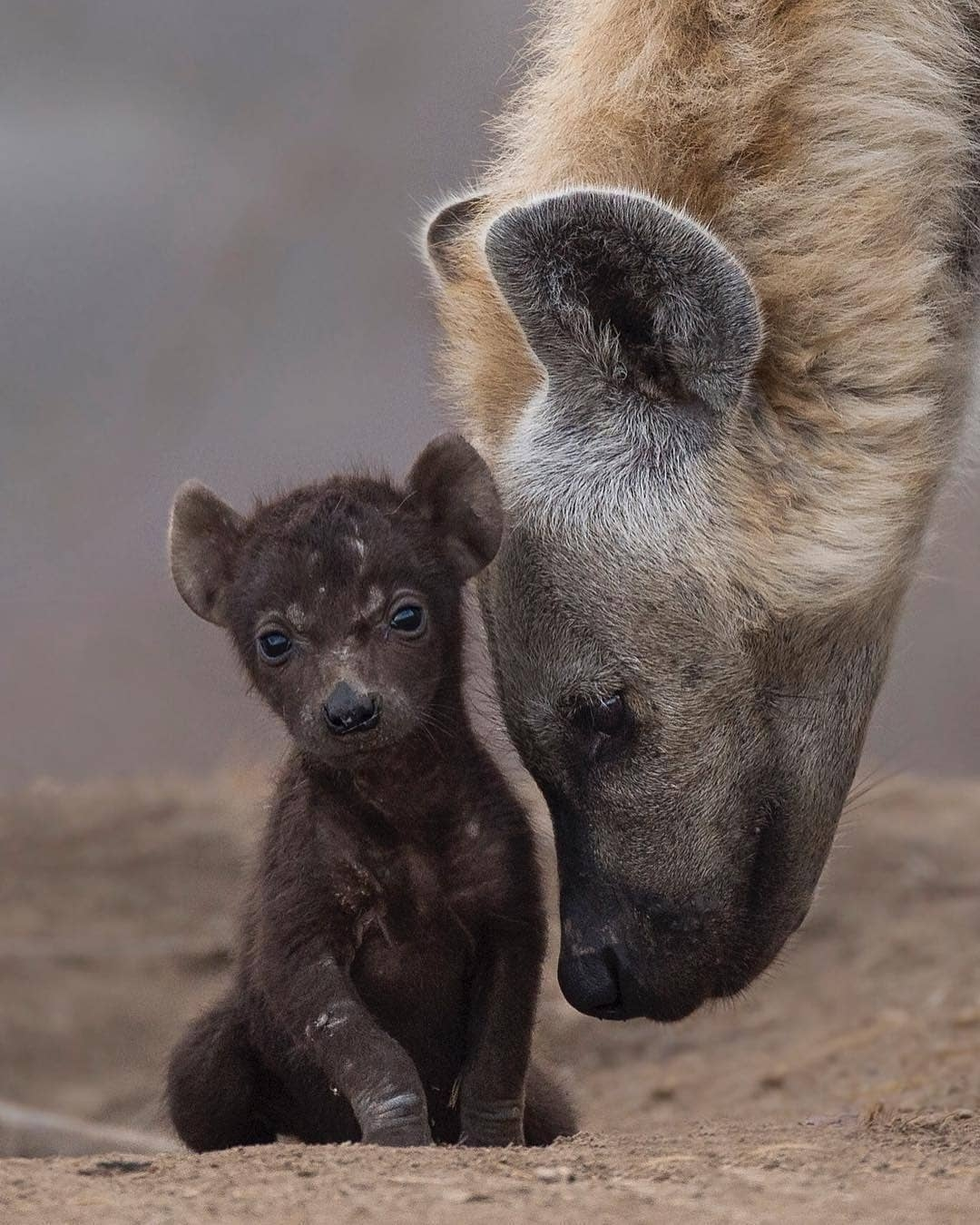 A special moment with one of Africa's most misunderstood animals! We especially love the negative space made in between the cub and hyena mother. Perfect!