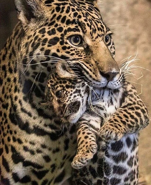 In a leopard cub's early days they are vulnerable and must be taken care of by their mothers until they are strong enough to fend for themselves.