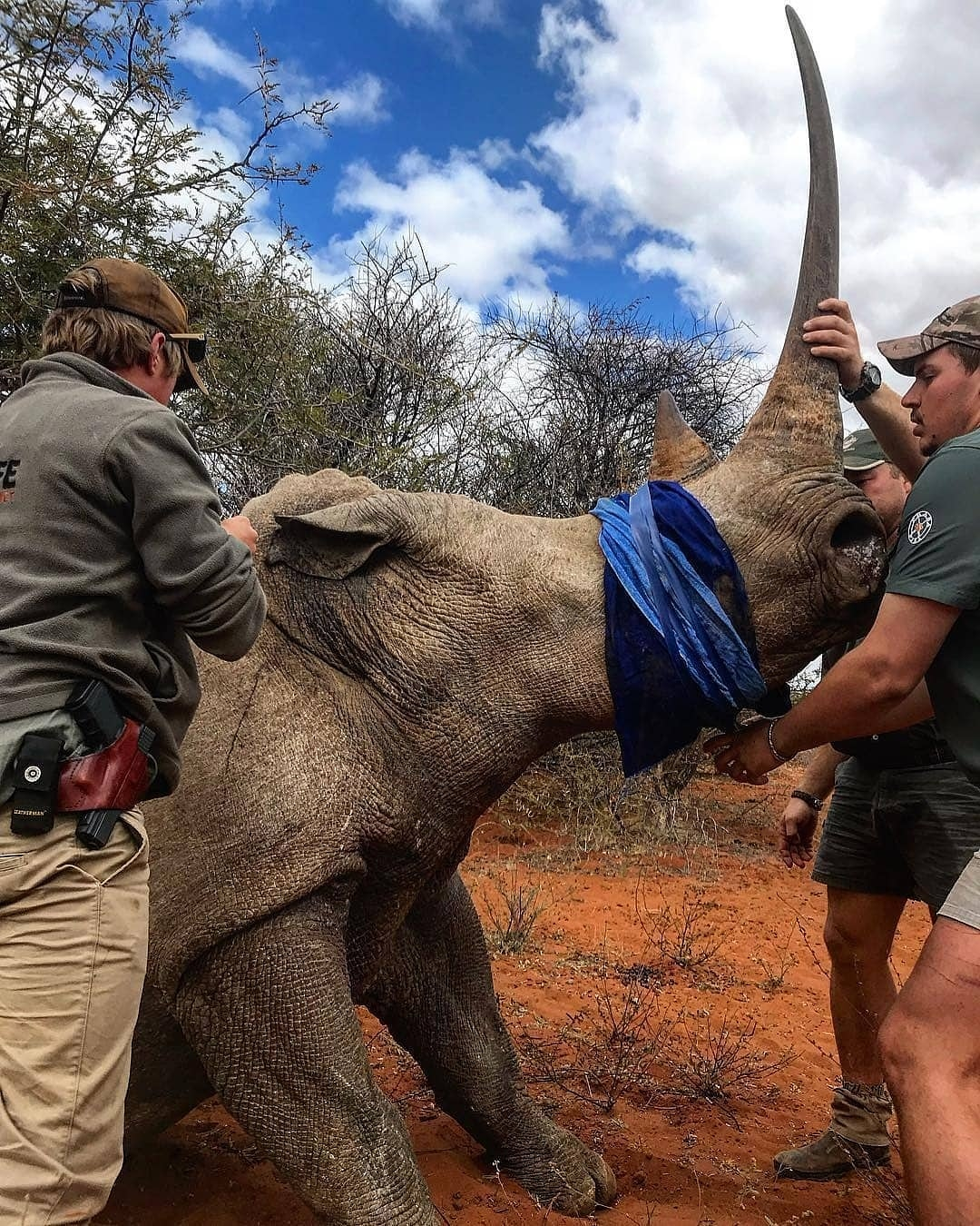A beautiful white rhino cow immobilised for transportation to a safer place 🦏 It's great to see people caring for these unique and beautiful animals. . From  @limpopo_wildlife_vet